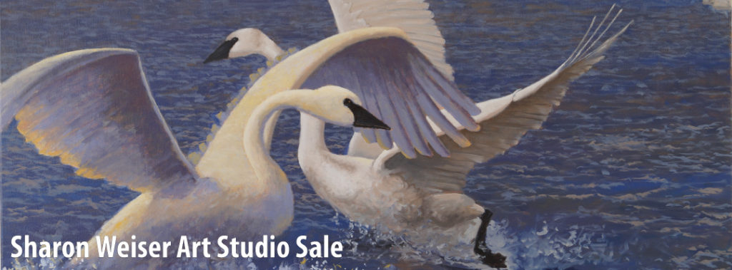 winter play, oil on canvas painting of two trumpeter swans on dark blue water with glints of sunlight.